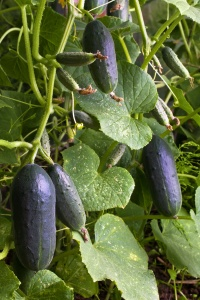 cucumbers hanging in the garden
